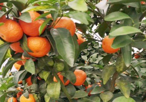 砂糖桔价格多少钱一斤?种植成本及利润怎么样?